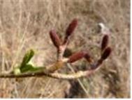 사방오리나무 암꽃