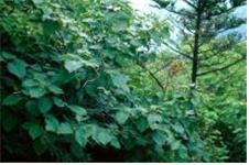 덤불오리나무 수형