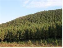 삼나무 조림지