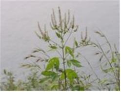 단풍잎돼지풀