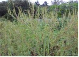 단풍잎돼지풀 군락