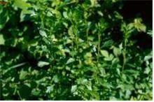 제비쑥 잎
